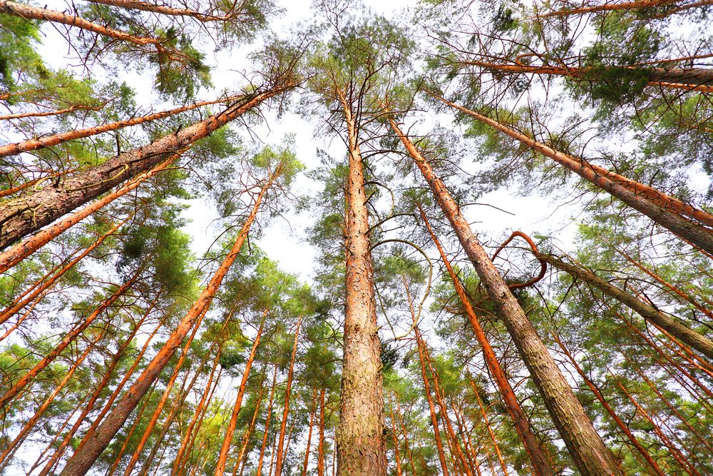 Pines tree for the best wood for outdoor furniture