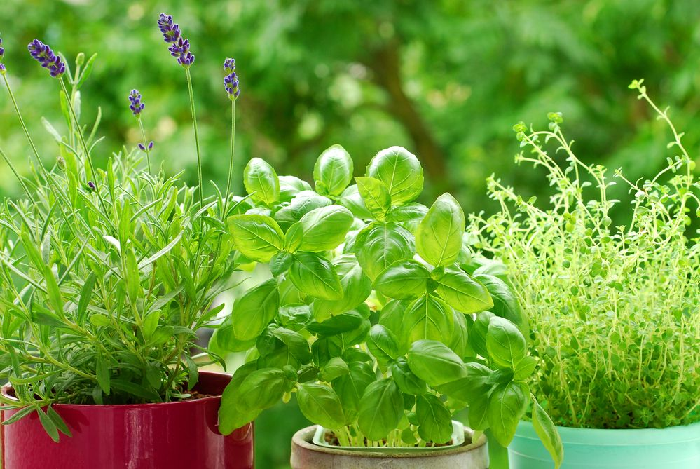 Basil, lavender and thyme plants to help keep mosquitos away